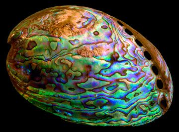 """The scientific name for abalone, """"Haliotis"""" means """"ear of the sea"""" and refers to the flattened shape of the shell. The rough outer portion of the abalone is ground down to reveal the stunning inner layers of the shell. The nacreous inner surface is a silvery blue-green that sometimes contains swirls of pink, orange and lavender. The most vibrantly colored species of abalone is called """"paua"""" and comes from the waters around New Zealand."""