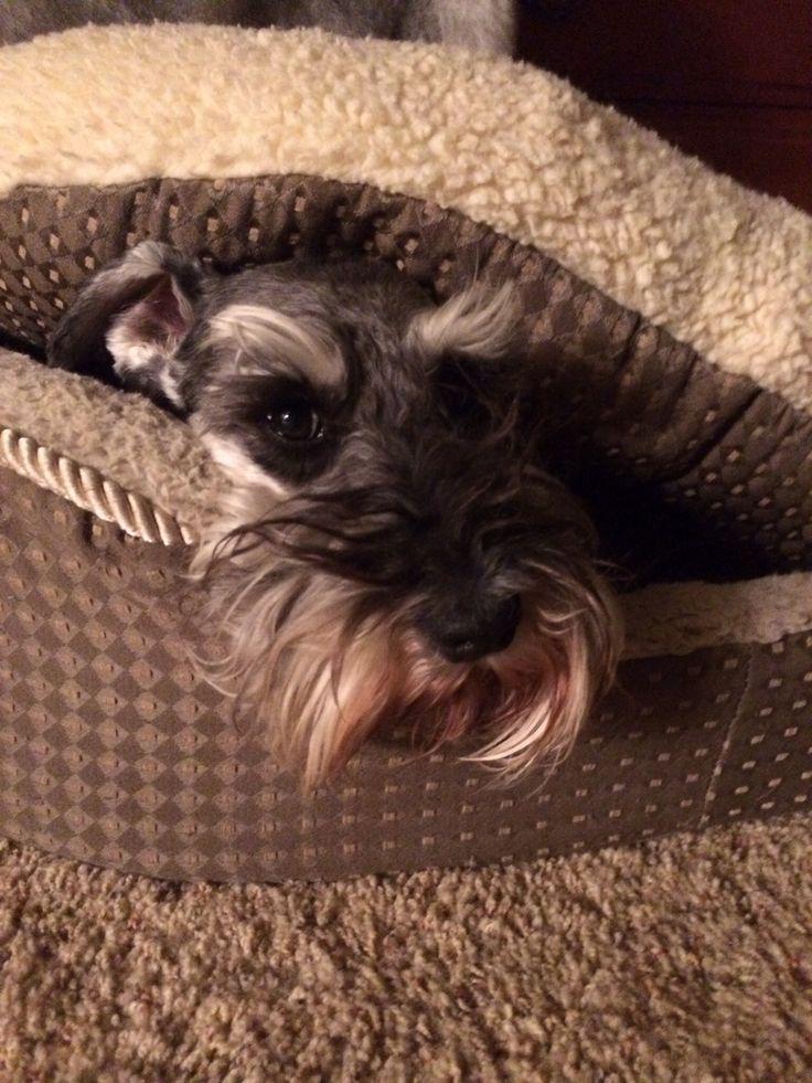 "Little mini schnauzer in his doggie bed so cute<span class=""EmojiInput mj44"" title=""Sparkles""></span>"