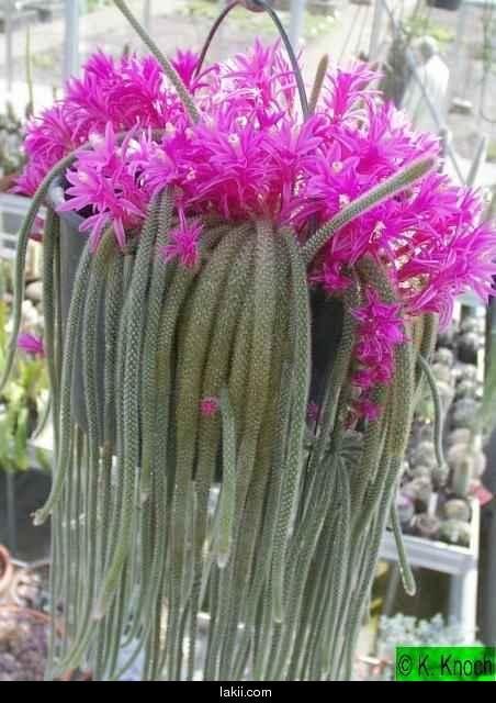 Busco nombre de cactus foro de infojard n flores for Fotos de cactus