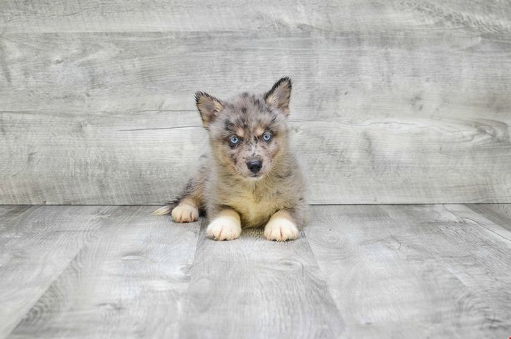 MINI POMSKY PUPPY - 9 week old Pomsky for sale