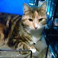 Yardley, Pennsylvania - Calico. Meet Nikki, a for adoption. https://www.adoptapet.com/pet/20681602-yardley-pennsylvania-cat