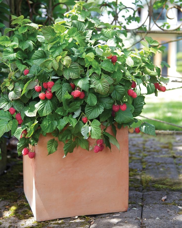 BrazelBerries® Raspberry Shortcake™ Dwarf Thornless Raspberry - This dwarf, thornless red raspberry has an endearing, rounded growth habit and thrives in a large patio pot or in the landscape. It will nicely fill out any container, and requires no staking! Spreads slightly in the landscape. Self fertile, yielding large, nutritious, super sweet berries in mid-summer. Deciduous.