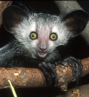 The sweetest little Goth animal.  Sadly misunderstood by some in their home country, who believe they are an evil omen.