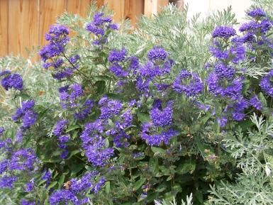 The Blue Mist Shrub.. Late Summer Colour..zone 5