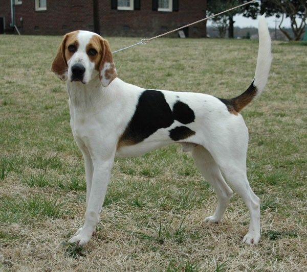 walker hound pictures | Treeing Walker Coonhound (foto http://molosserdogs.com )