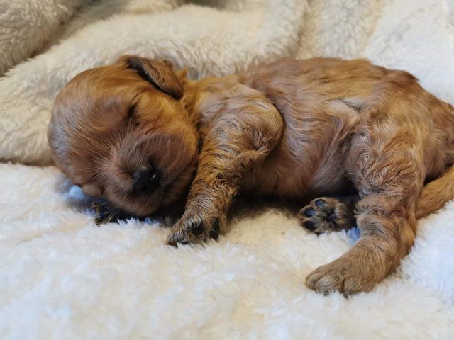 Cockapoo F1 Red Puppies Puppies Cockapoo Puppies For Sale