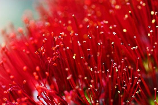 Pohutukawa - Christmas Red in New Zealand summer