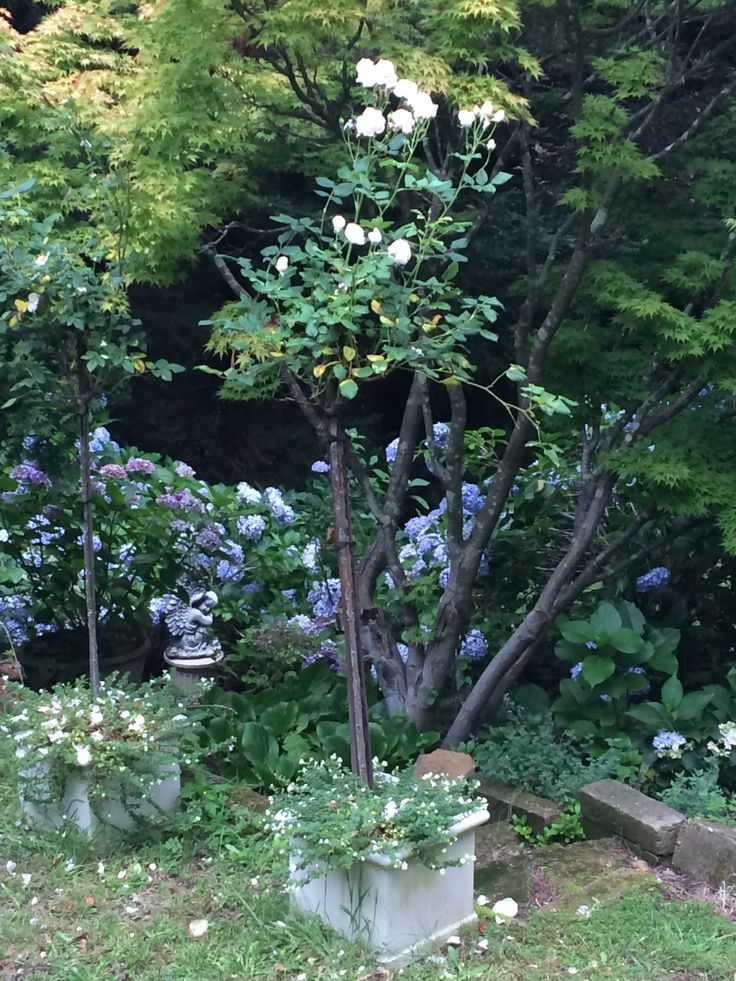 Hydrangea garden with pots of standard David Austin rose Heritage