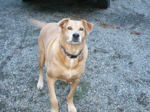 URGENT~~LOST DOG***SAGE~~   COURTESY POST: Labrador Retriever,  North Bend, WA  SAGE is a 13 yo, female, 100 lb (when she went missing), yellow lab/golden ret mix. She is more red than yellow. Has fat pockets; one prominent under her left front leg. Had collar and tags when went missing. She is in good health, has never, ever wandered. Extra-ordinarily food motivated. Unfortunately, Sage was not microchipped. Contact Jeannine if found: tpcjeannine@gmail.com   PLEASE WATCH FOR HER!