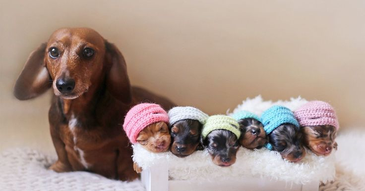 Proud Sausage Dog Poses With Her 6 Tiny Sausages For Maternity Photoshoot | Bored Panda