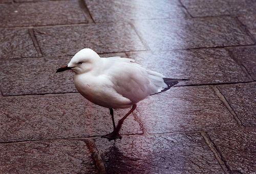 Pedestrian Gull