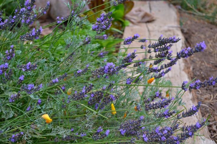 how to grow a lavender hedge