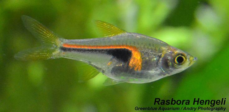 Rasbora Hengeli | Aquarium fish
