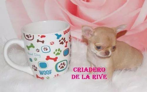 hermosos cachorros chihuahua cabeza de manzana mini