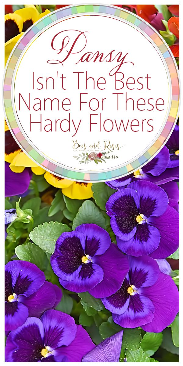 Pansy Isn T The Best Name For These Hardy Flowers Bees And Roses Pansies Flowers Pansies Gardening For Beginners