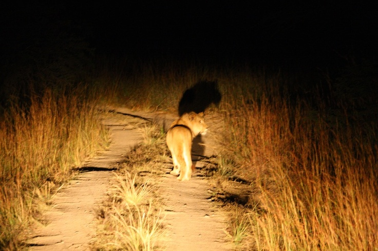 Join a night encounter to watch the big lions hunt in the dark.
