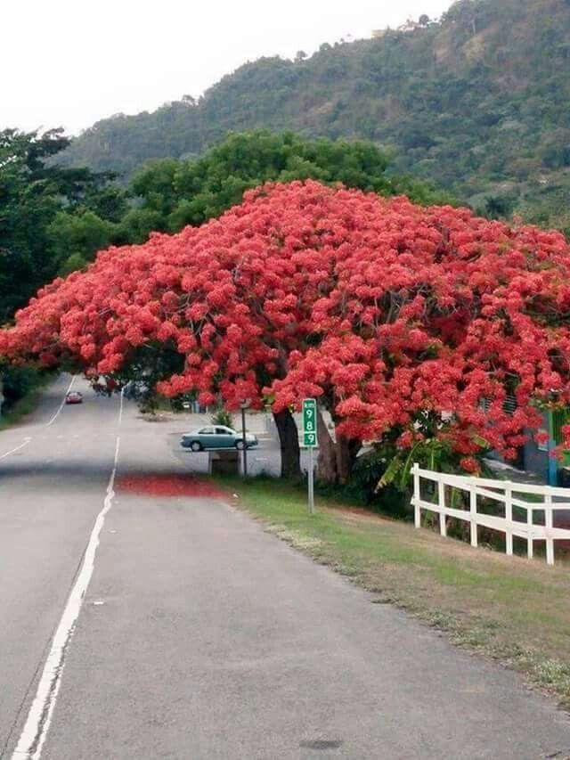 Gorgeous Flamboyán Tree in Yabucoa, Puerto Rico.