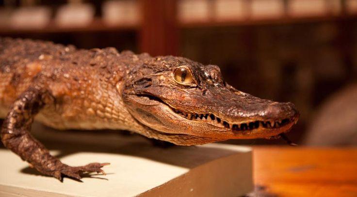 Alligator i den Nordiska djursalen - Västarvet