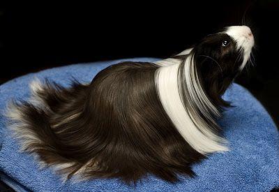 Es una de las razas más antiguas conocidas. Se reconoció la raza en Inglaterra en 1973 Características Pelo suave, denso, largo y liso sin rosetas que crece desde la cabeza entre las orejas, formando una crin que fluye por encima de los hombros y espalda. El pelo de los laterales es a veces más corto que el de atrás. Es una cobaya muy mimosa de personalidad muy dulce Cuidados El pelo debe ser acicalado y empaquetado cada dos días