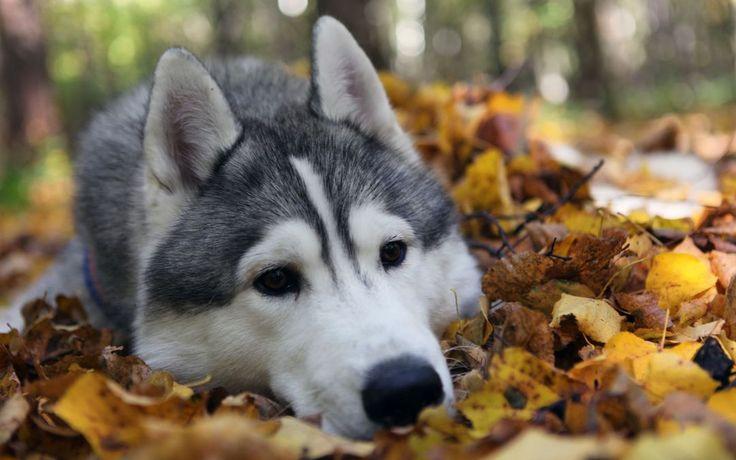 Как воспитать хорошую собаку?  Главная ошибка в воспитании, которую совершают люди – это принятие хорошего поведения как должного. Когда собака хорошо себя ведет (не лает, не ворует со стола, а тихо лежит или играет со своей игрушкой), ее полностью игнорируют. Зато когда она делает что-то плохое, она получает массу внимания со стороны хозяина. Собаки, как и люди, – социальные существа, внимание для них – ценная награда. Если большую часть своего внимания Вы уделяете собаке, когда она ведет…