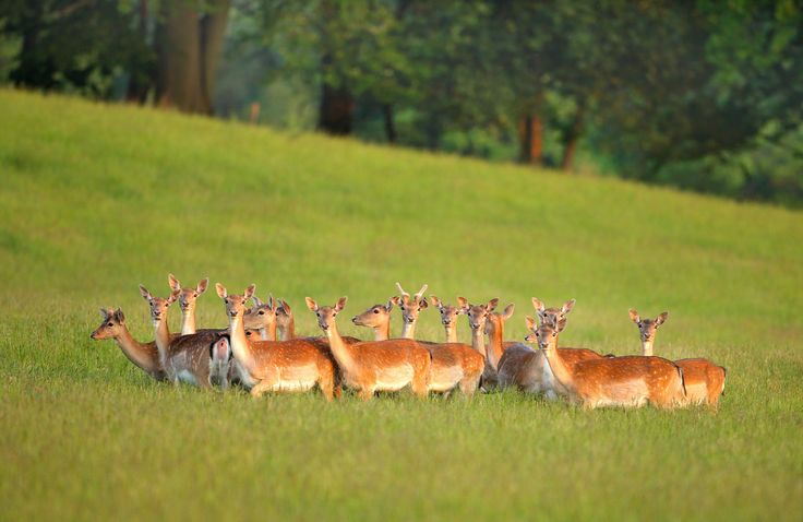 https://flic.kr/p/Jq5nWZ | Wild Fallow Deer Herd | © 2016 Alan Mackenzie.  www.alanmackenziephotography.com  Facebook  Opportunities to photograph wild Fallow deer are filled with obstacles and success requires good fieldcraft, patience and perseverance. Wherever possible, it is important to minimise unintentional disturbance, which is why, despite having visited this site for one year, I've only managed to take one good shot.   Many photographers have gone down the route of deer parks…