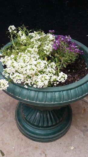 M s de 25 ideas nicas sobre arbustos de hoja perenne en for Arboles de hoja perenne que crece rapido