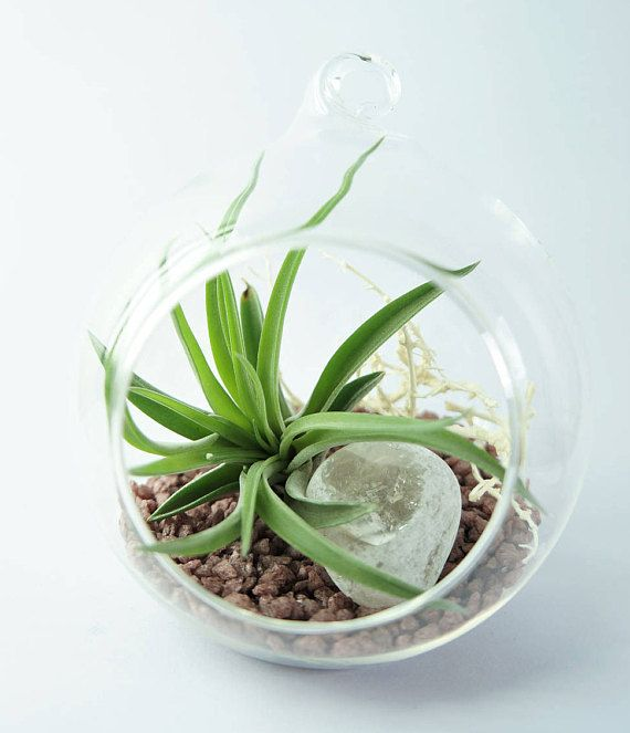 Air plant terrarium kit with Tillandsia Brachycaulos  hanging