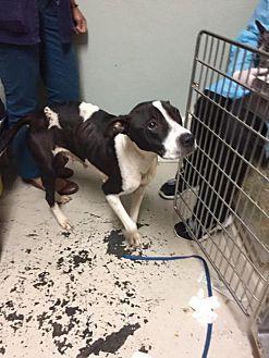 Boxer/Pit Bull Terrier Mix Dog for adoption in New York, New York - Misty
