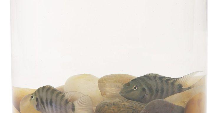 Como criar um Aulonocara. Embora seu nome soe como o de um pássaro, o Aulonocara é na verdade um tipo de peixe ciclídeo. Eles também são conhecidos como firebird, Malawi peacock. Estes peixes crescem até cerca de 15 cm de comprimento. Podem ser encontrados em diversas cores, incluindo o vermelho pelo que são nomeados, até laranjas e azuis, ou uma mistura dessas cores. ...