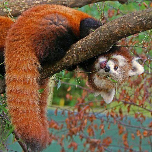 Red panda how cute??