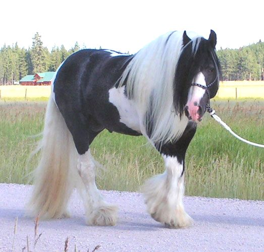 The Gypsy Vanner breed is also known as Gypsy Cobs, Tinker Horses, Irish Cobs, and Gypsy Horses.