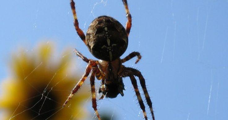 Remedio casero para matar arañas. Aunque tener arañas en la casa puede tener beneficios, como la desaparición de otros insectos no deseados, la mayoría de la gente no quiere a estos arácnidos cerca y desean un remedio casero para deshacerse de ellas en lugar de usar un pesticida químico.