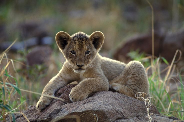 løveunge,