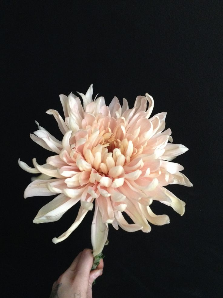 Chrysanthemum Avignon  Symbolize truth, but also grief. Maybe this will be the dying flower?