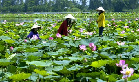 Lotus flowers in Vietnam -  Visit http://asiaexpatguides.com to make the most of your experience in Vietnam!