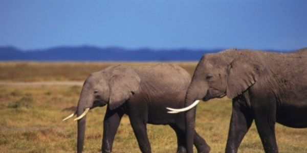Urge The Arkansas Legislature to Ban The Sale of Ivory and Rhino Horns To Protect Endangered Wildlife!