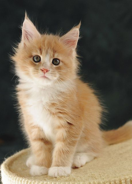 orange maine coon kitten. one of the best breeds of cats. one day I'll get another one!