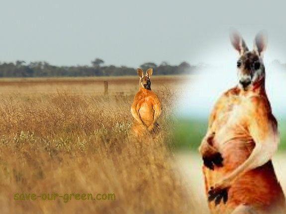 Save Our Green » Male Kangaroos flex their biceps to woo mates