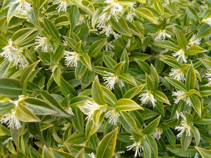 Cimişir dulce - Sarcococca hookeriana