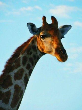 Giraffe WESSA