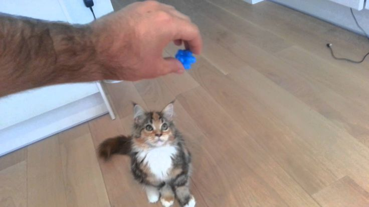 Cute 4 month old Maine coon kitten playing with a bouncing ball, fun. Un chaton jouant à la balle ( 4 mois )