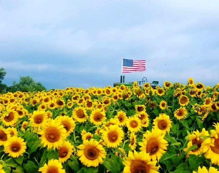 Farming In The Usa Sunflower Field Near Me Sunflower Fields Colby Farm