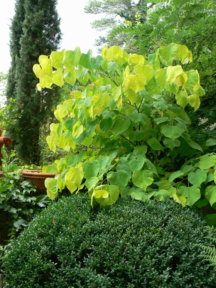 Cercis canadensis 'Hearts of Gold' | P L A N T S | Pinterest