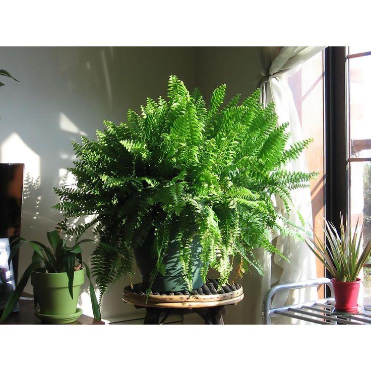 Costa farms boston fern in 10 in hanging basket10bosthb