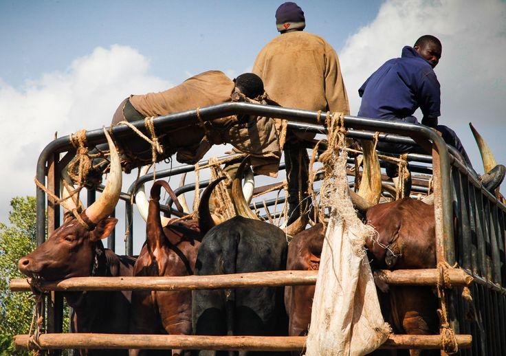 Cattle transport, Uganda. Photo (c) Miikka Järvinen 2012. Original gallery http://miikkajarvinen.wordpress.com/2014/02/22/life-wildlife-uganda/