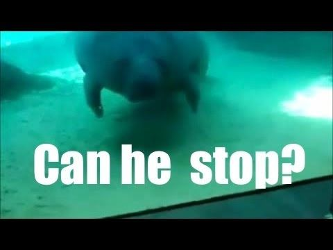 ▶ Manatee can't stop. Sometimes I worry about how incredibly simple my sense of humor is.