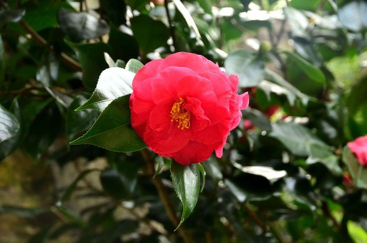 #arbuste #botanique #cognassier du japon #couleurs #fleur #flore #jardin #ptales #plantes #printemps
