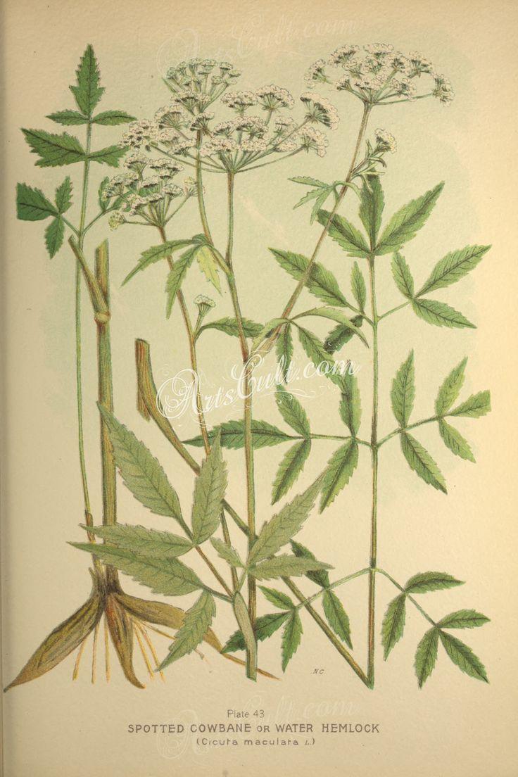 Spotted Cowbane or Water Hemlock, cicuta maculata      ...