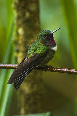 El colibrí gorgiamatista2 , también llamado ángel gorgiamatista, colibrí gorjiamatista o ángel del sol garganta amatista3 (Heliangelus amethysticollis), es una especie de ave de la familia Trochilidae, orden Apodiformes.  Índice  [mostrar]  Distribución y hábitat[editar] Vive en bosques húmedos de montaña y en bosques antiguos muy degradados, en Bolivia, Ecuador y Perú.