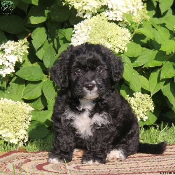 Angel, Bernedoodle-Miniature Puppy